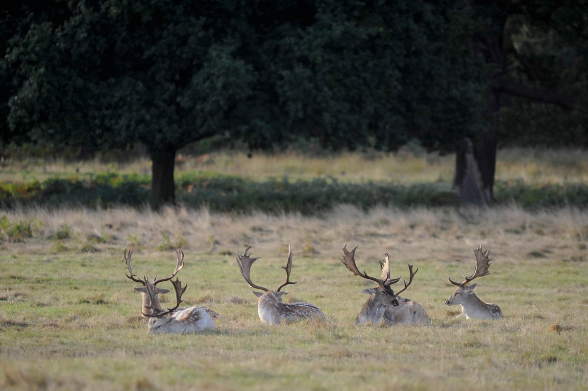 Fallow deer, Richmond Park, London